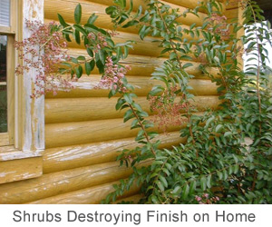 shrubs destroying finish on log home