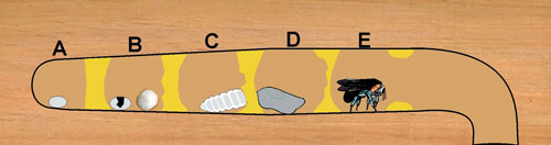 If We Take A Look At Cross Section Diagram Of Carpenter Bee Gallery Can See How After Drilling Out Four To Five Inch Long