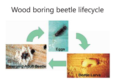 woodboringlifecycle